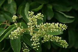 Berchemia-racemosa-flowers