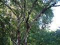 Betula albosinensis var septentrionalis RB2.JPG