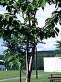 Betula ermanii.JPG