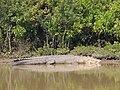 Bhitarkanika Crocodile.jpg