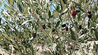 Bidni Olive cultivar from Malta