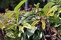 Bignonia capreolata Tangerine Beauty 6zz.jpg