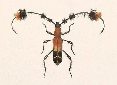 Cosmisoma titania