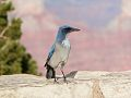 Bird al Grand Canyon National Park.jpg