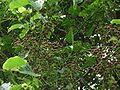 Bischofia javanica, fruits.jpg