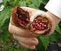 Bixa frucht.jpg