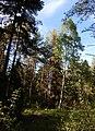 Björk, tallar, granar och skogstry.jpg