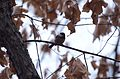 Black-Capped Chickadee at Ojibway Park (32049070610).jpg
