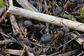 Black-backed Meadow Ant - Formica pratensis (26065524526).jpg