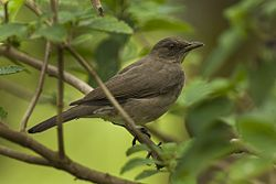 Black-billed Thrush - Manu NP 8730 (16612461424).jpg