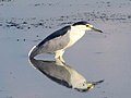 Black-crowned Night-Heron, July 2017 (39046394692).jpg