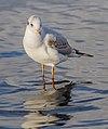 Black-headed Gull, Lake Windermere, England 09.jpg