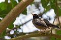 Black-hooded Thrush - Paraulata Cabecinegra (Turdus olivater olivater).jpg