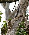 Black-tailed Marmoset (Callithrix melanura) (28487779251).jpg