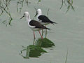 Black-winged Stilts.jpg