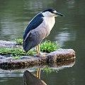 Black Crowned Night Heron (6021109879).jpg