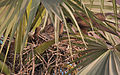 Black Kite (Milvus migrans)- Adult with Juveniles at nest at Palmyra Palm (Borassus flabillifer) in Kolkata I IMG 1989.jpg