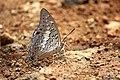 Black Rajah Butterfly (Charaxes solon) (27298216760).jpg