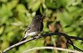 Black phoebe, Sayornis nigricans, along the Guadalupe River in Santa Clara, California, USA (30919792296).jpg
