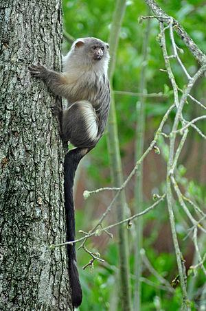 Black-tailed marmoset - Black-tailed marmoset