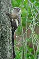 Black tailed marmoset (mico melanurus) Chester Zoo.jpg