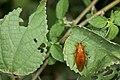 Blattodea (36637028216).jpg