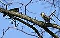 Blaumeise (Cyanistes caeruleus) im Grünfelder Park in Waldenburg. 2H1A3541WI.jpg