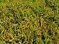 Blechnum microphyllum 1.jpg