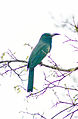Blue-Bearded bee eater.jpg