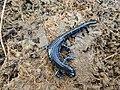 Blue-spotted-salamander-top-view.jpeg