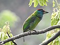 Blue-throated Barbet Megalaima asiatica by Dr. Raju Kasambe DSCN4094 (2).jpg
