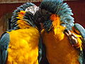 Blue-throated Macaws preening 03.jpg