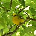 Blue-winged warbler (6946969198).jpg