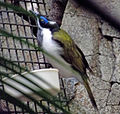 Blue faced honeyeater.JPG