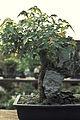 Bonsai-3 hg.jpg