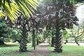 Borassus Aethiopum - Allée.jpg