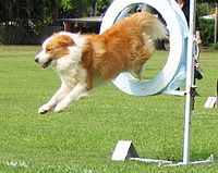 """Australian red"" Border Collie competing in agility"