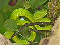 Bornean Keeled Green Pit Viper (Tropidolaemus subannulatus) (8219409591).jpg