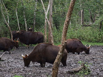 Mineral lick - Gaur at a natural salt lick