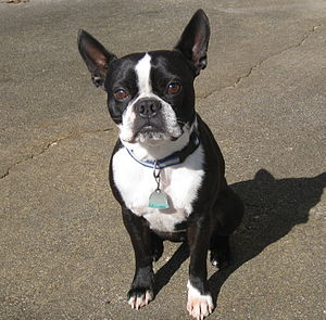 English: Adult Male Boston Terrier with black coat