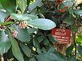 Botanical Garden of Peradeniya 48.JPG