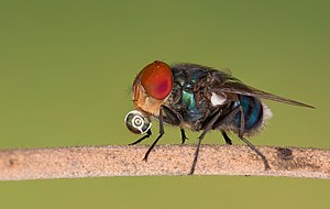 Bottle fly.jpg