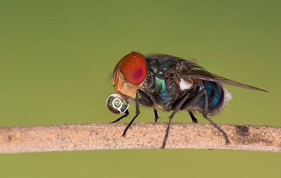 Bottle fly.jpg