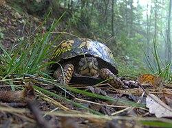 Box-turtle-cove-mtn-trail-tn1.jpg