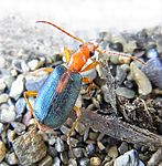 Brachinus sclopeta up.jpg