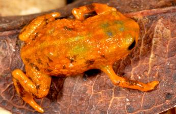 Brachycephalus mariaeterezae.png