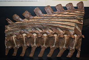 Brachylophosaurus - Partial tail with tendons