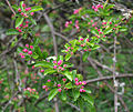 Branche de pommier en fleurs à Kew Gardens.jpg