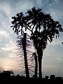 Branched Palm plant 3.jpg
