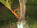 Branched coconut trunk (1103896427).jpg